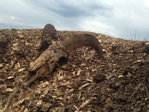 Roadkill compost piles in Montana sometimes include bighorn sheep.